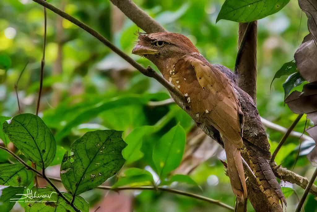 Ceylon Frogmouth - Thattekad