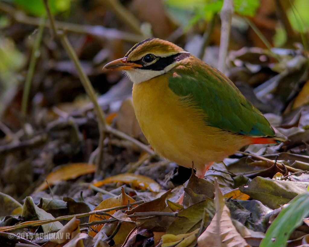 Indian Pitta - Birds of Periyar