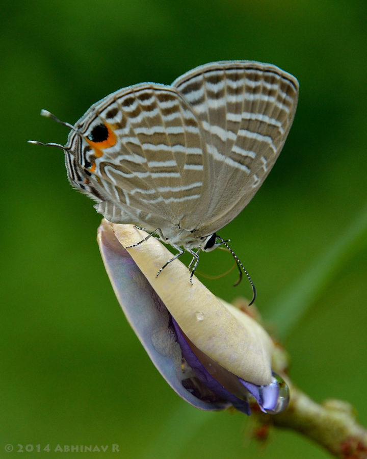 Common Cerulean Butterfly