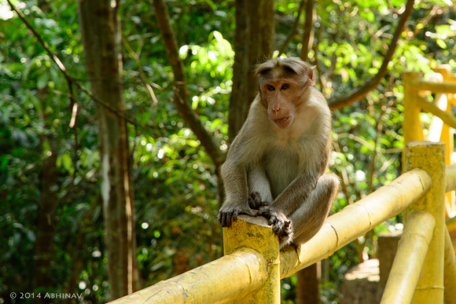 Bonnet Macaque from Athirappally
