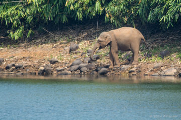 Wild Elephant near Vazhachal