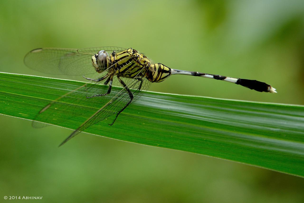 Tail Of The Dragon Photos >> Dragonflies & Damselflies | PhotoValiant