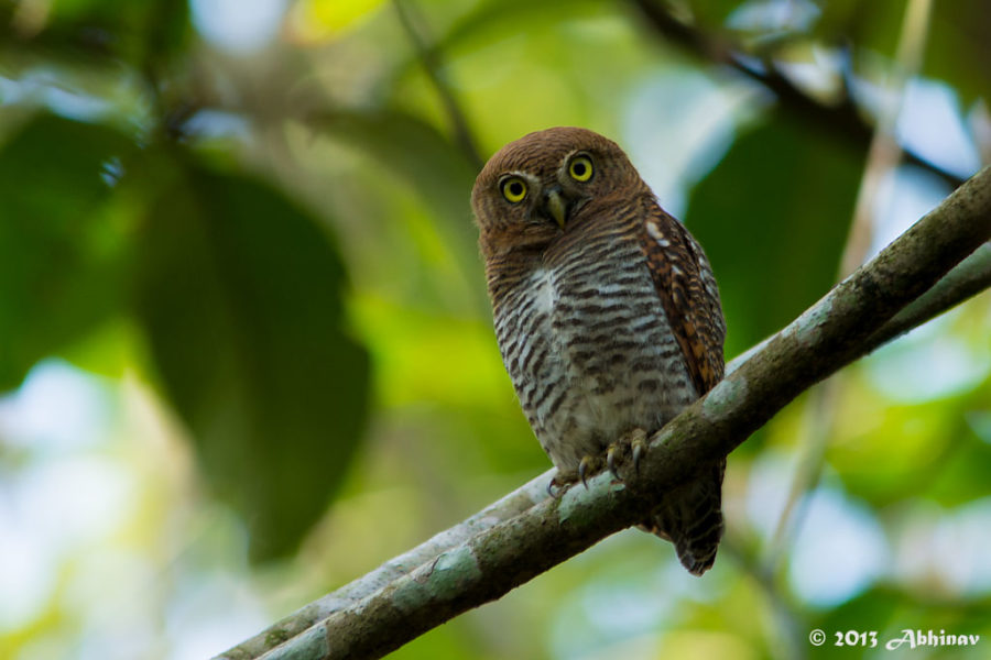 Jungle Owlet or Barred Jungle Owlet