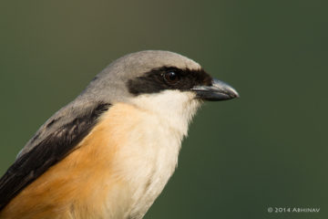 Long Tailed Shrike - Munnar