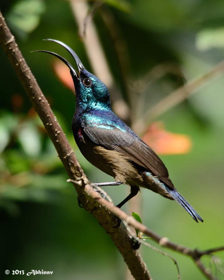 Lotens Sunbird (Male) - Cinnyris Lotenius - from Cheruvally, Kerala