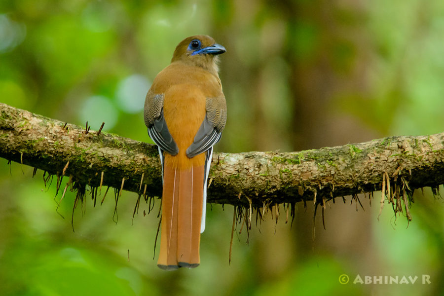 Malabar Trogon - Female