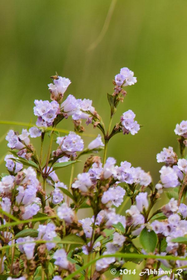 Neelakurinji Blooms Munnar 2014