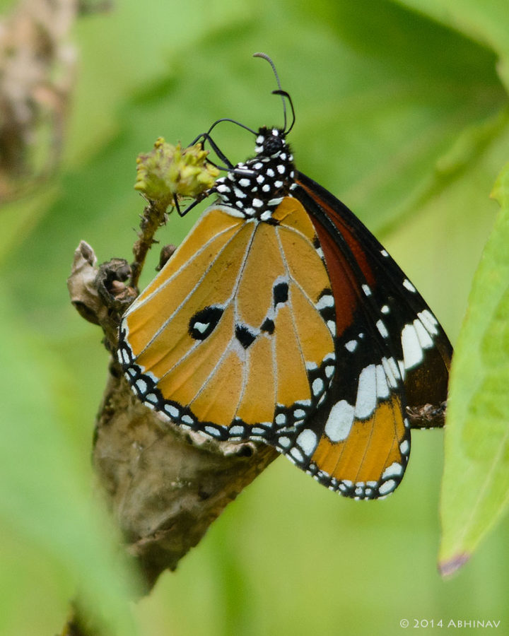 Plain Tiger Butterfly - Periyar