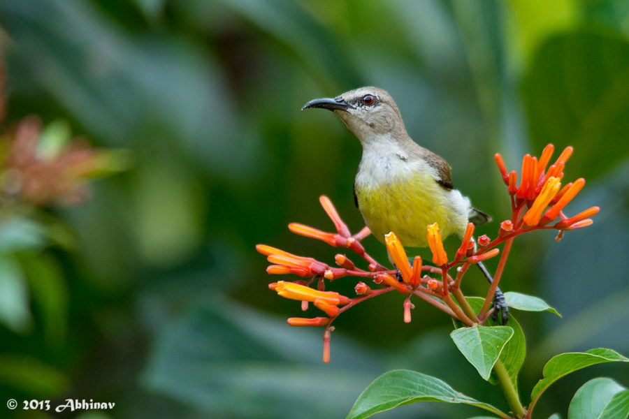 Purple - Rumped Sunbird