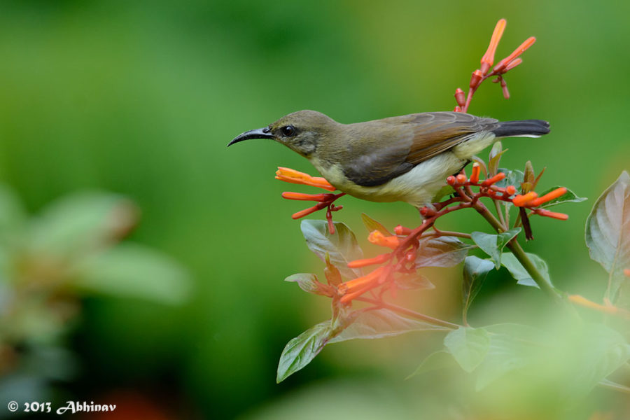 Purple - Rumped Sunbird (Female)