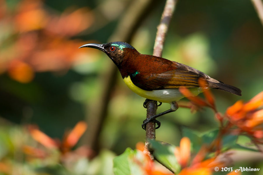 Purple - Rumped Sunbird (Male)