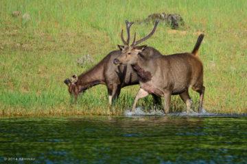 Sambar Deers - Periyar