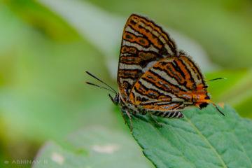 Silverline Butterfly