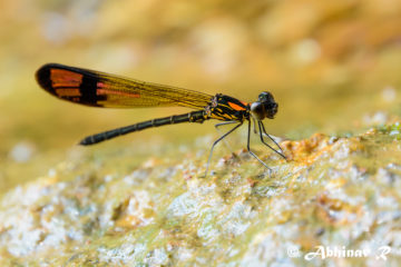 Stream Ruby Damselfly - Rhinocypha bisignata