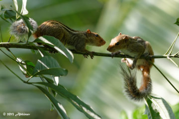 Indian Palm Squirrels
