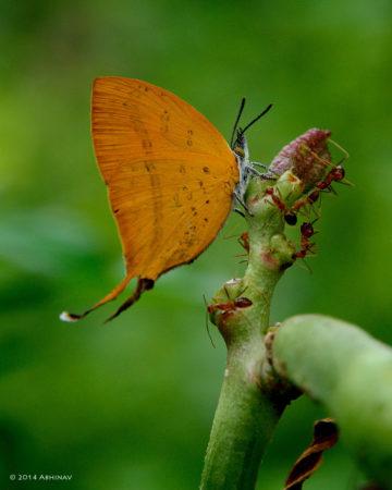 Yamfly - Loxura atymnus
