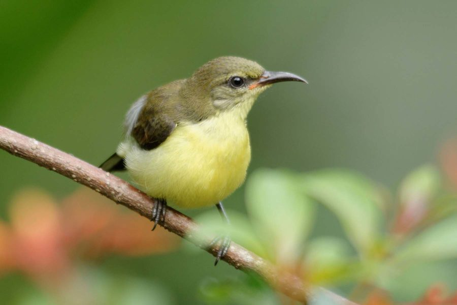 Juvenile Purple Rumped Sunbird